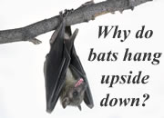 Why do bats hang upside down?