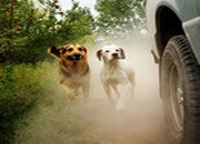 Why dogs run behind vehicles?