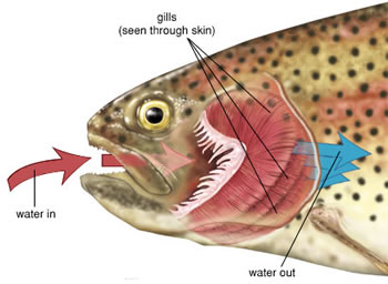 How do gills work?