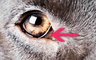 Why Do Dogs Have Two Eyelids